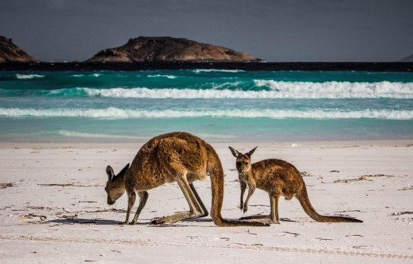 A Western Australia Road Trip Kangaroos in Cape Le Grand National Park