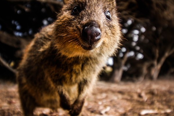 Cuddle a quokka on Rottnest